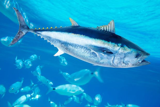 Blauflossenthun