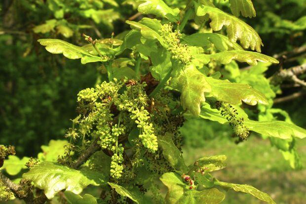 Blütenstände und Blätter der Eiche