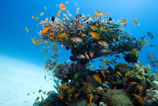 Bunte Fahnenbarsche schlawenzeln um eine Koralle
