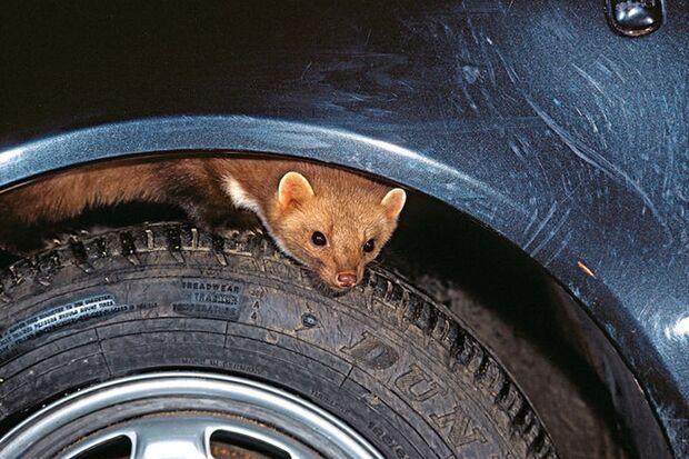 Das Auto vor Mardern schützen