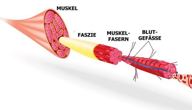 Das Bindegewebe oder eben die Faszien umhüllen jedes Organ, jeden Knochen und jeden Muskel