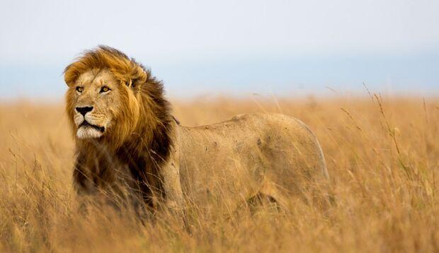 Das größte Landraubtier Afrikas: Vor Simba sollte man lieber kein Reißaus nehmen