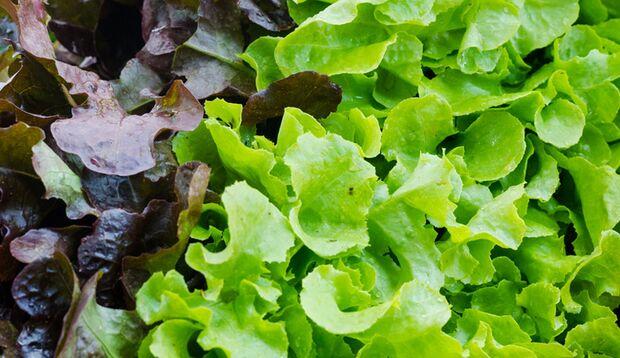 Der Eichblattsalat hat seinen Namen aufgrund der Blattform