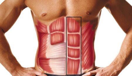 Der Rectus abdominis