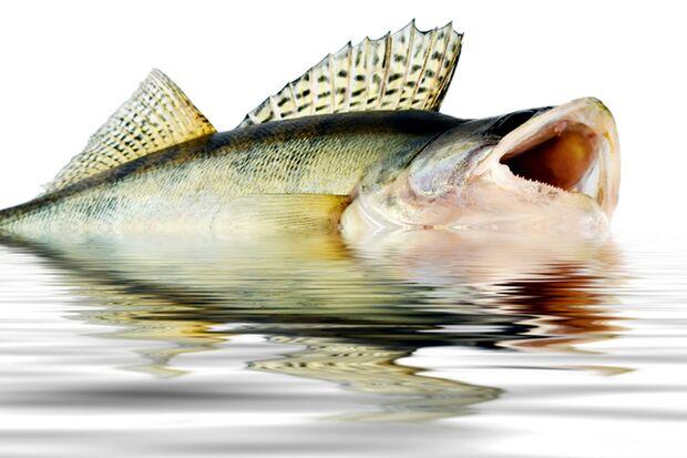 Der leckerste Fisch: der Zander