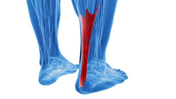 Die Achillessehne verbindet die Wadenmuskulatur mit der Ferse