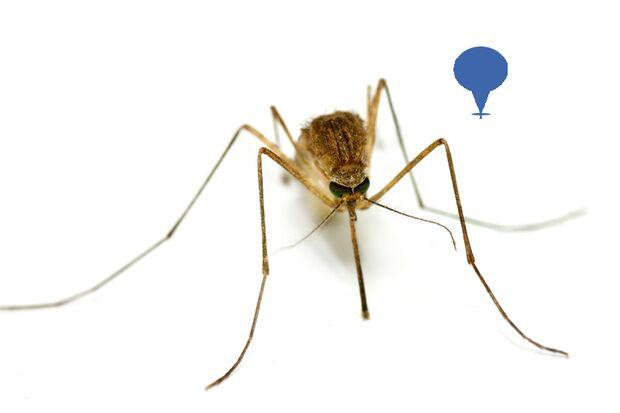 Die Culex-Mücke ist weniger aktiv bei Tageslicht