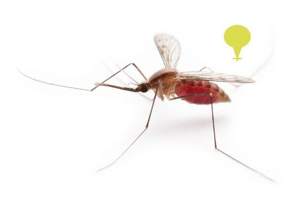 Die Gnitze und die Anopheles-Mücke übertragen die gleiche Krankheit