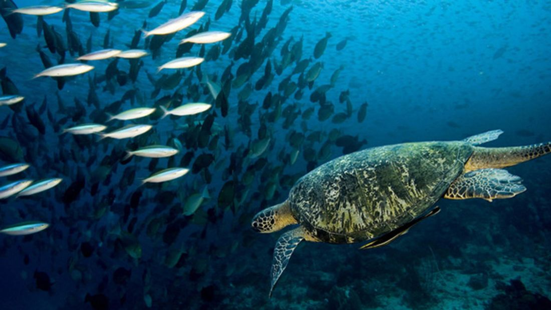 Die so genannte Echte Karettschildkröte in den Gewässern um die indonesischen Komodoren
