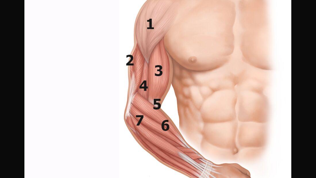 Die wichtigsten Muskeln Ihres Arms