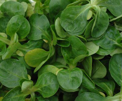 Feldsalat enthält 145 Mikrogramm Folsäure pro 100 Gramm