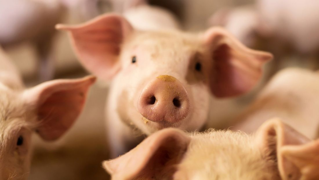 Gewissensfrage: Könnten Sie ein Schwein schlachten?