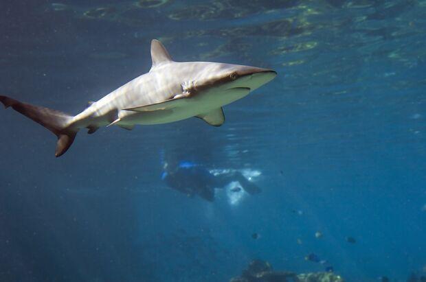 Gewöhnlicher Riffbewohner: der Graue Riffhai