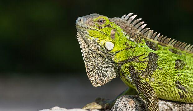Grüner Leguan auf Curacao