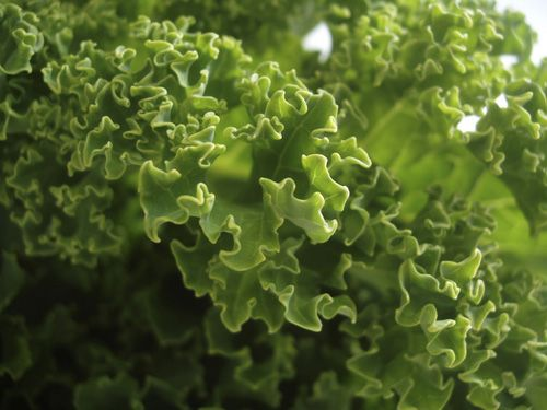 Grünkohl enthält 1,7 Milligramm Vitamin E pro 100 Gramm