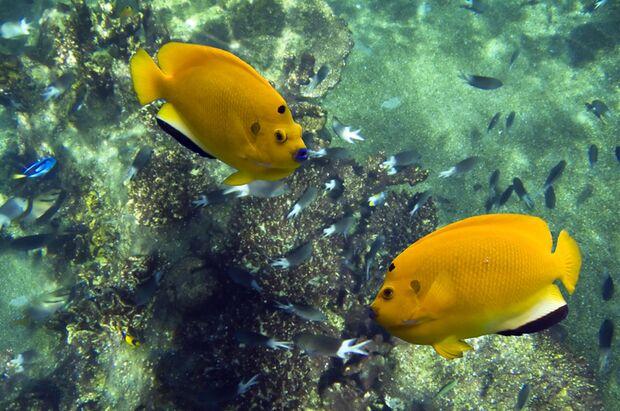 Häufige Schönheit am Riff: der Gelbe Dreipunkt Kaiserfisch
