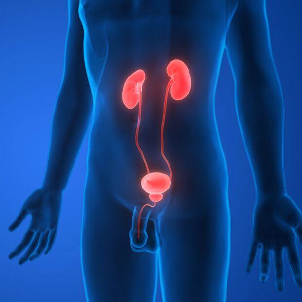 In der Niere gefilterte Flüssigkeiten werden über die Blase ausgeschieden
