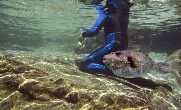 Macht sich rund: der Weißflecken-Kugelfisch
