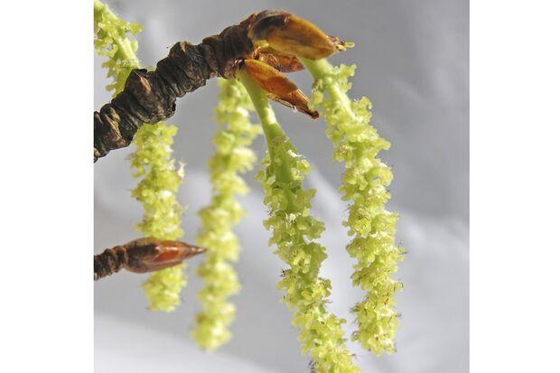 Neue, noch grüne Blütenstände der Pappel