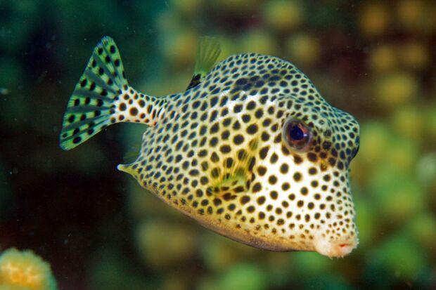 Perlen-Kofferfische leben im tropischen, westlichen Atlantik.