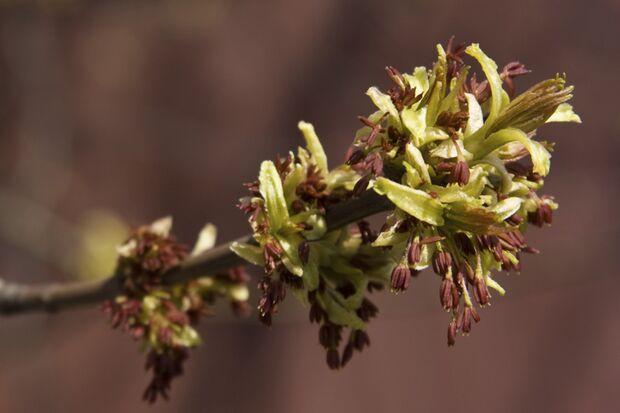 Purpurrote Blütenstände der Esche