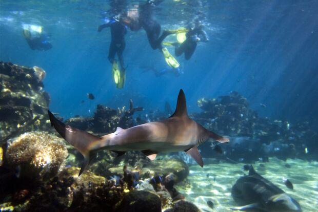 Schnorchler schwimmen über einem Bogenstirn-Hammerhai