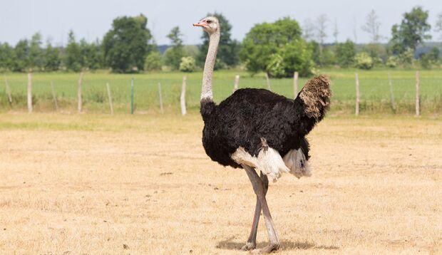Strauß in Curacaos Ostrich Farm