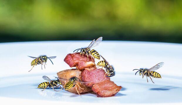 Wespen interessieren sich mehr für Lebensmittel als für Menschen
