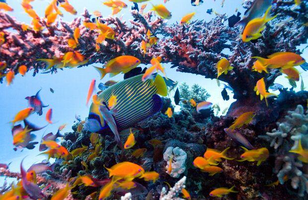 Zumindest Herrscher über die schönen Fische: der Imperator Kaiserfisch