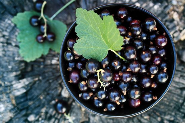 schwarze Johannisbeeren enthalten Flavonoide